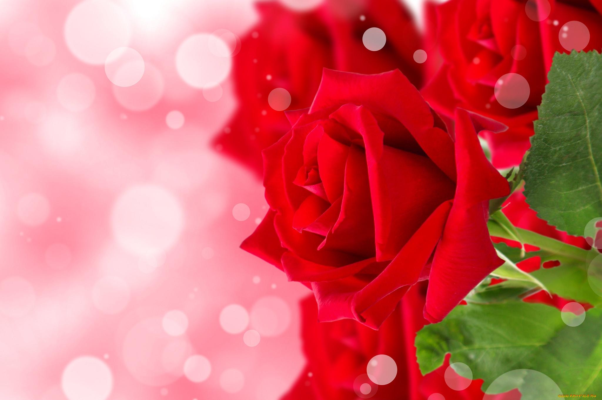 Красные розы фон для открытки с днем рождения